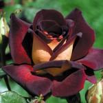 роза-эдди-митчелл